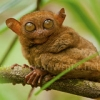 """Tarsier-Bohol-Philippines-001 • <a style=""""font-size:0.8em;"""" href=""""http://www.flickr.com/photos/66713265@N08/6803086921/"""" target=""""_blank"""">View on Flickr</a>"""